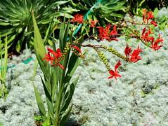 Crocosmia 'Lucifer' (dracophylla) Tags: lucifer crocosmia iridaceae royaltasmanianbotanicalgardens friendsmixedborder
