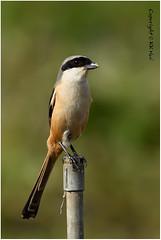 Rufous-backed Shrike (Lanius schach) - 300116_DSC2028n (KK Hui) Tags: bird laniusschach longtailedshrike landbird rufousbackedshrike