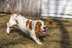 IMG_6134 (BFDfoster_dad) Tags: hound basset