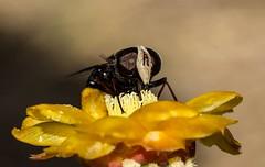 Hooverfly (Dennise Morales Pou) Tags: naturaleza insectos macro nature insect outdoor insects bugs minimalism hispaniola syrphidae naturephotography hembra biodiversidad repblicadominicana eristalinae volucellini copestylum fotogrfiadenaturaleza