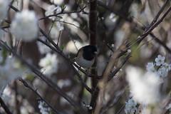 IMG_6507 (armadil) Tags: flowers flower tree bird birds backyard junco plumtree plumflower plumflowers