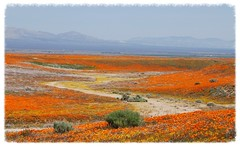 Lancaster Wildflowers (jillmazur) Tags: california ca flowers orange nature yellow lens landscape golden nikon poppies lancaster wildflowers nikkor californiapoppies 1685mmf3556gvr