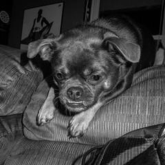 Wallie (32/366) (severalsnakes) Tags: dog pet chihuahua animal mutt mixed play pentax pug couch missouri playful chug sedalia wallie mx1 saraspaedy