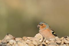 Pinson des arbres (Vincent Cornu) Tags: bird dordogne oiseau fringillacoelebs commonchaffinch 300f4 pinsondesarbres fringillids passriformes canon7dii