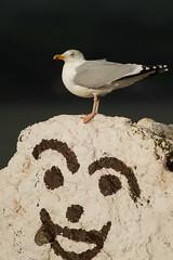 Herring Gull (Larus argentatus) (gcampbellphoto) Tags: bird nature coast wildlife gull shore larusargentatus countyantrim irishsea herringgull gcampbellphoto