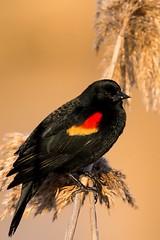 Red-winged Blackbird (Bob Riley Jr.) Tags: birds wildlife rate cull unprocessed redwingedblackbird 2016 heroncountypark