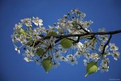The appearance of spring.... (Joe Hengel) Tags: california ca morning flowers blue trees flower tree bluesky socal blueskies southerncalifornia orangecounty oc goodmorning theoc sanjuancapistrano treebranch