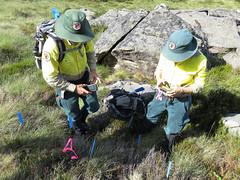New site recording (Environment + Heritage NSW) Tags: weed volunteers volunteer kosciuszko kosciuszkonationalpark orangehawkweed noxiousweed volunteerprogram weedcontrol orangehawkweedcontrolprogram weedprogram