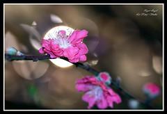 就是妳 (Le Kings Studio) Tags: new light flower back flash year chinese peach 花 新年 農曆 桃花 燈 bossom 背光 閃光