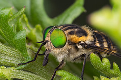 Holiday bug pic #68 (affectatio) Tags: macro green bug insect fly eyes neon bright luminous brightgreen mpe65