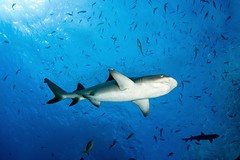 IMG_4805 (PaoloLora) Tags: ocean sea mexico island shark san ray escape pacific paolo dolphin dive scuba diving manta socorro roca silky lora messico benedicto partida revillagigedos