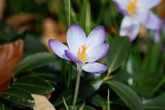 Crocus (Tatyana2016) Tags: park flowers flower macro green nature petals spring nikon purple crocus dslr bbg botanicgarden purpleflower nikond40 firstspringflower