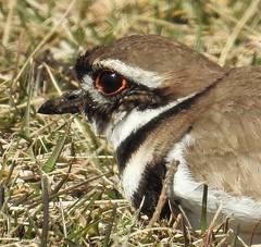 Killdeer (Charadrius vociferus) (Nature In a Snap) Tags: park sunset bird nature killdeer wildlife birding nj harvey birdwatching cedars shorebird 2016 vociferus charadrius