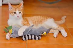 Gato Jinks  (9) x (adopcionesfelinasvalencia) Tags: gato jinks