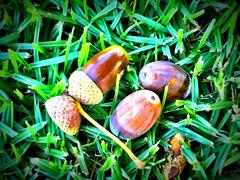 Acorns on the Lawn (RobW_) Tags: lawn saturday hydro february stellenbosch acorns westerncape 2016 27feb2016