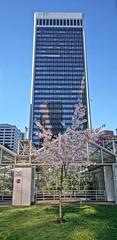 Burrard Blossoms (the snow bunny) Tags: vancouver spring downtown bc sakura cherryblossoms burrard yvr vancity burrardskytrainstation burradstation