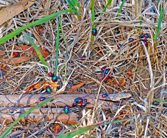 Jewel-bugs Choerocoris paganus (Simon Grove (TMAG)) Tags: australia tasmania insecta hemiptera taroona scutelleridae choerocoris tasmanianmuseumandartgallery tmagzoology march2016