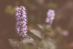 Hierba Buena (Bernardo Guzman Roa) Tags: natural flor medicinal buena hierba hierbabuena