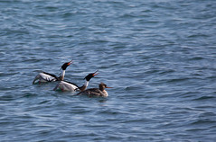 On Display 1.jpg (FotoReliq) Tags: ca toronto ontario canada nature birds wildlife ducks redbreasted merganser thommythompsonpark
