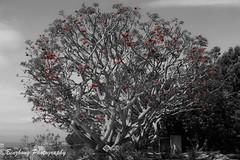 Shining Red (binzhongli) Tags: plant tree sandiego selectivecoloring scrippscoastalreserve canon6d