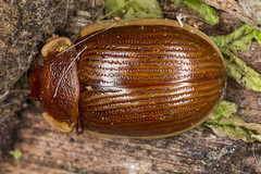 Paropsisterna subcostata (zosterops) Tags: macro australia tasmania coleoptera chrysomelidae insecta canoneos6d paropsisternasubcostata canonmacrolensmpe65