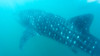 Whale shark. Donsol (Laura Jacobsen) Tags: philippines whaleshark bicol luzon bicolandia donsol butanding