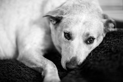 Let me sleep (adine-) Tags: blackandwhite dog cute canon puppy amazing eyes expression 85mm creation creatures 12l