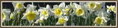 Anglų lietuvių žodynas. Žodis daffodill reiškia narcizas (gėlė) lietuviškai.
