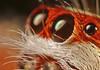 Eye To Eye (karthik Nature photography) Tags: color macro nature animals closeup forest canon garden photography spider spiders wildlife jumpingspider macrophotography salticidae macroworld animalworld spiderworld canonmt24ex insectphotography canonmpe65 macrolife telamoniadimidiata malejumpingspider canon5dmark3 colorfuljumpingspider beautifuljumpingspider jumpingspidersinindia