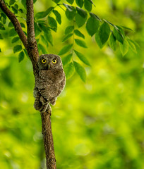 Eastern Screech Owl..... (Kevin Povenz) Tags: morning tree green bird nature june early lowlight michigan wildlife earlymorning owl birdsofprey easternscreechowl westmichigan 2015 screechowl owlet canon60d sigma150500 kevinpovenz