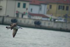 frozen in flight (matteo_bezzi98) Tags: laruscachinnans