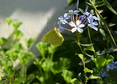 Mariposa verde limn (Tornasolar) Tags: chile naturaleza flores flower nature fleur butterfly flor papillon borboleta latinoamerica  blume mariposa fiore farfalla schmetterling  bloem iek kelebek   quilpue      kahmhaut