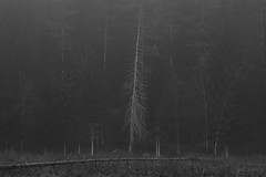 grief (Mindaugas Buivydas) Tags: morning trees bw mist tree fog forest dark march spring mood moody gloomy darkness eerie fir birch lithuania darkforest lietuva verkiairegionalpark sadnature verkiaiforest