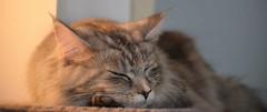 Geh fort!  Do not disturb, Please!! (eagle1effi) Tags: female cat chat pussy 100mm mainecoon felini housecat muschi domesticcat maincoon felis miezi felissilvestris felissilvestriscatus hauskatze 68mm felinae nikon55200mmf456 d5100 lenstypegvr nikond5100dslr nikonlens55200mmf456 miezigracesilvana