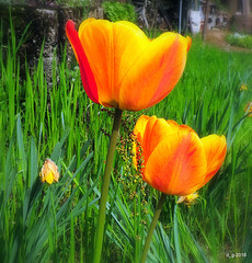 Primi Tulipani  DSCN5771_01 (papamillo) Tags: flower primavera spring fiori colori   flowerscolors