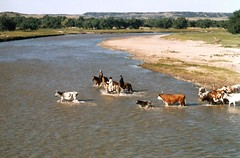 Crossing the Cheyenne River (fiddlersgreen) Tags: cowboys longhorns rivercrossing