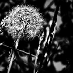 Puste_Sommer_Blume (stephanboblest) Tags: blackandwhite plant flower nature canon natur pflanze monochrom blume lightandshadow bnw pusteblume werder lichtundschatten schwarzweis canon600d