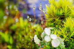 (kinga.lubawa) Tags: colors canon moss tamron mech krople kolory droples kolorowe canon6d