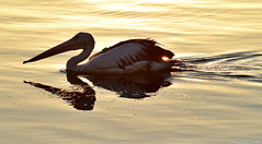 Pelican in the morning light (Merrillie) Tags: pink sea nature water birds animals fauna sunrise reflections outdoors dawn bay nikon scenery waterfront wildlife australia pelican nsw daybreak brisbanewater woywoy d5500 nswcentralcoast centralcoastnsw