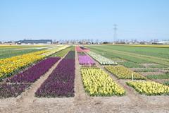 Hyacinths in various colours (DennisM2) Tags: colorful colourful hyacinten kleurrijk hyacinths
