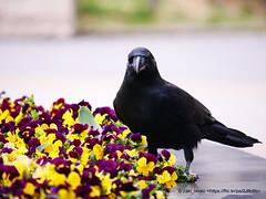 crow / Yokohama Park (zaki.hmkc) Tags:      crow
