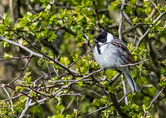 Reed Bunting sheltering from the wind. (steve.gombocz) Tags: bird nature birds nikon colours wildlife birdwatching bunting birdwatcher birdwatch spurnpoint springwatch reedbunting yorkshirewildlifetrust naturewatch nikond810 yorkshirewildlife