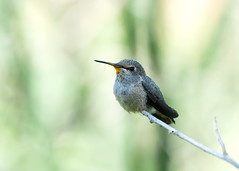 Pollen Neck (martytdx) Tags: ca birds female hummingbird lifelist sandiego birding annashummingbird trochilidae calypteanna calypte trophyshot tijuanariverestuary tijuanariverestuarybirdandbutterflygarden
