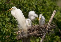 Great Egrets (Hockey.Lover) Tags: greategret rookery smithoaksrookery highisland explore texas2016