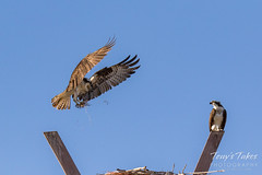 Male Osprey tosses grass toward its nest - Sequence - 7 of 19