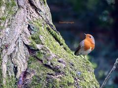 Robin redbreast - Rougegorge familier (Thrush-Nightingale) Tags: bird nature robin rouge erithacusrubecula erithacus wildlife gorge oiseau rougegorge redbreast familier robinredbreast rubecula rougegorgefamilier passereau