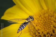 Hoverfly (Daniele Nicolucci photography) Tags: flower macro nature animal yellow closeup bug insect fly wings bee vegetation daisy nectar pollen antenna antennae hoverfly antennas pollination compoundeye flowerfly syrphid syrphidfly