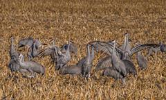 160310-Spring Migration-14 (Lynnette_) Tags: birds animals march spring nebraska seasons events places cranes rivers month sandhillcranes 2016 springmigration platterivervalley naturesubjects cranemigration cranescootsandrails