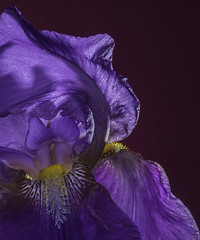 Backlit And Glowing Purple Iris (Bill Gracey) Tags: flower color fleur colorful purple flor violet glowing backlit softbox luminous backlighting redbackground germanbeardediris roguegrid yongnuorf603n yn560iii