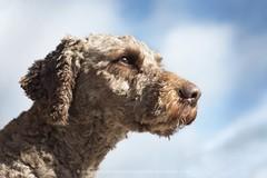 Proud look (alessandrafavetto) Tags: dog pet dogs neptuno dogphotography petphotography dogportrait spanishwaterdog perrodeagua petphotographer dogphotographer perrodeaguaespaol